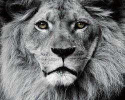 IMAGE EN VERRE LION